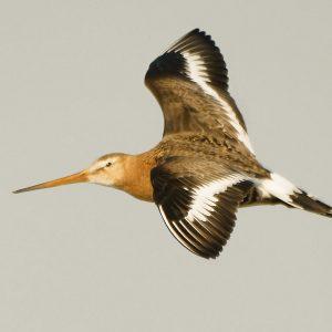 photo of Black tailed godwit